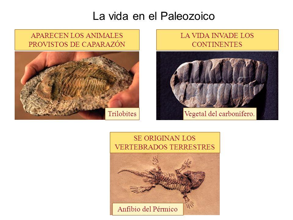 La vida en el Paleozoico APARECEN LOS ANIMALES PROVISTOS DE CAPARAZÓN LA VIDA INVADE LOS CONTINENTES SE ORIGINAN LOS VERTEBRADOS TERRESTRES TrilobitesVegetal del carbonífero.