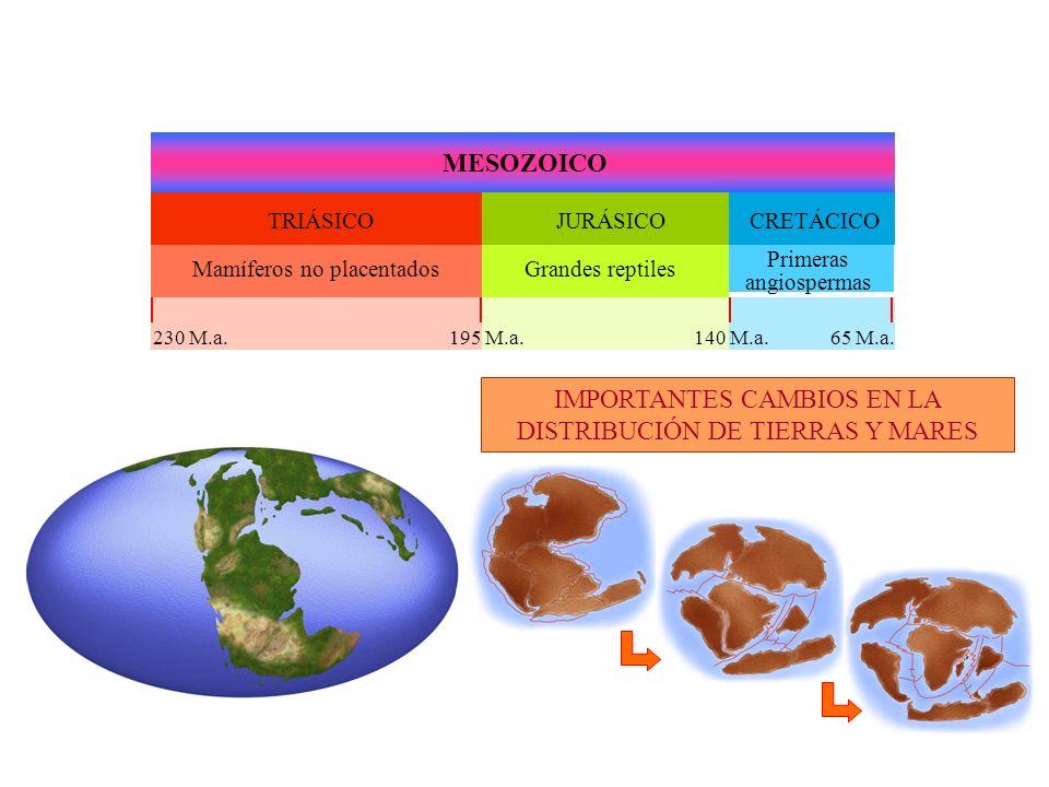 MESOZOICO TRIÁSICOJURÁSICOCRETÁCICO IMPORTANTES CAMBIOS EN LA DISTRIBUCIÓN DE TIERRAS Y MARES Mamíferos no placentadosGrandes reptiles Primeras angiospermas 65 M.a.140 M.a.195 M.a.230 M.a.