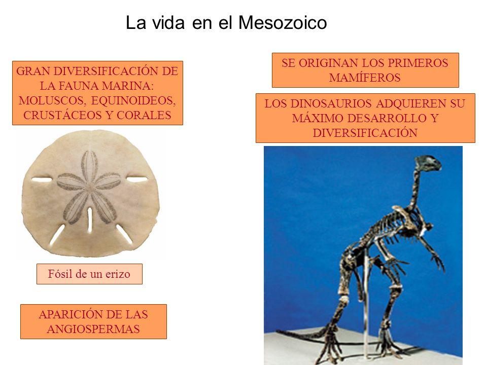 La vida en el Mesozoico GRAN DIVERSIFICACIÓN DE LA FAUNA MARINA: MOLUSCOS, EQUINOIDEOS, CRUSTÁCEOS Y CORALES LOS DINOSAURIOS ADQUIEREN SU MÁXIMO DESARROLLO Y DIVERSIFICACIÓN SE ORIGINAN LOS PRIMEROS MAMÍFEROS APARICIÓN DE LAS ANGIOSPERMAS Fósil de un erizo