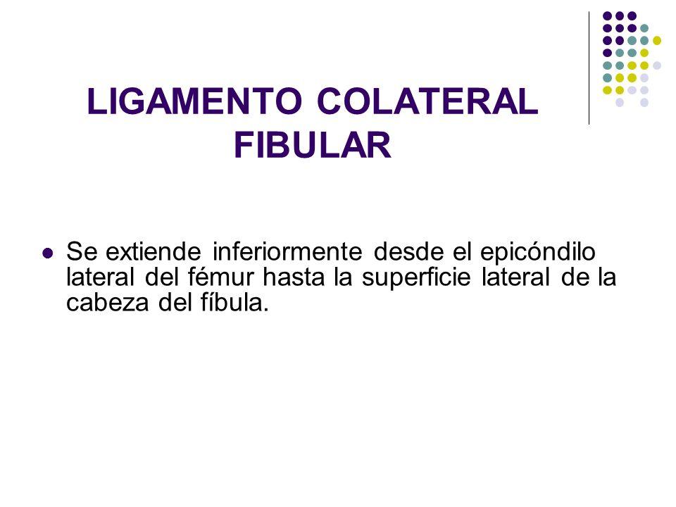 LIGAMENTO COLATERAL FIBULAR Se extiende inferiormente desde el epicóndilo lateral del fémur hasta la superficie lateral de la cabeza del fíbula.