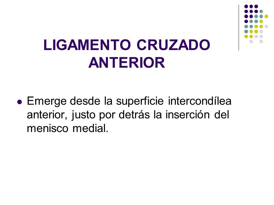 LIGAMENTO CRUZADO ANTERIOR Emerge desde la superficie intercondílea anterior, justo por detrás la inserción del menisco medial.
