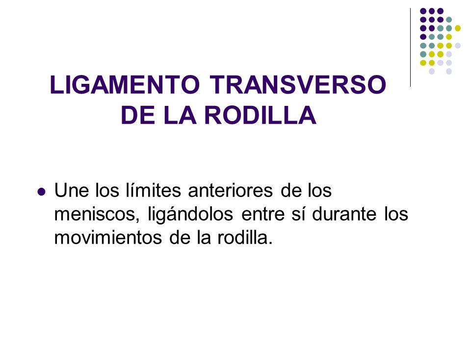LIGAMENTO TRANSVERSO DE LA RODILLA Une los límites anteriores de los meniscos, ligándolos entre sí durante los movimientos de la rodilla.