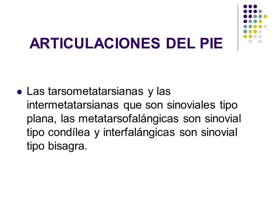 ARTICULACIONES DEL PIE Las tarsometatarsianas y las intermetatarsianas que son sinoviales tipo plana, las metatarsofalángicas son sinovial tipo condíl