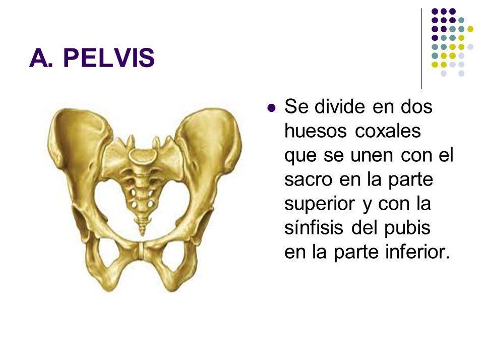 A. PELVIS Se divide en dos huesos coxales que se unen con el sacro en la parte superior y con la sínfisis del pubis en la parte inferior.