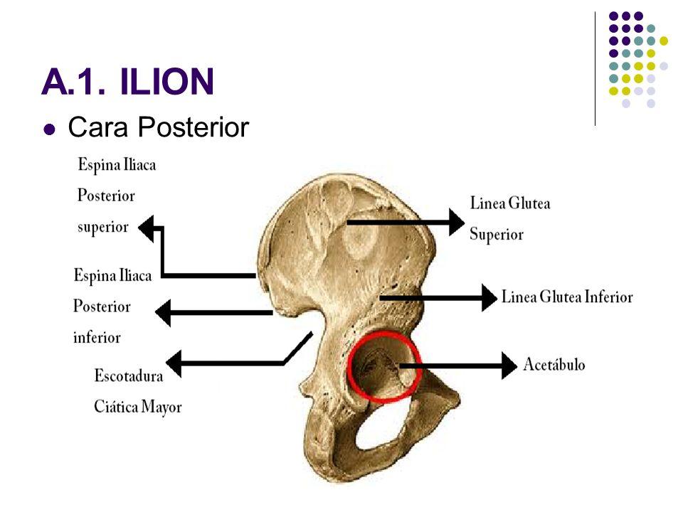 Vistoso Anatomía Del Hueso Ilion Ilustración - Anatomía de Las ...