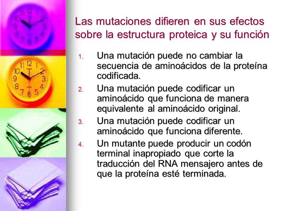 Las mutaciones difieren en sus efectos sobre la estructura proteica y su función 1. Una mutación puede no cambiar la secuencia de aminoácidos de la pr