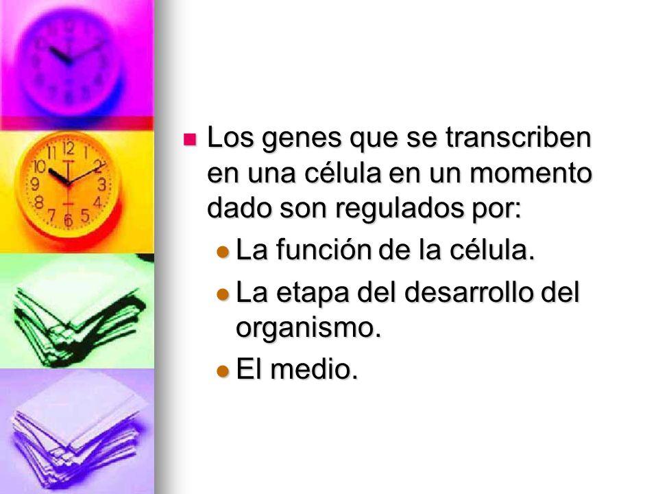 Los genes que se transcriben en una célula en un momento dado son regulados por: Los genes que se transcriben en una célula en un momento dado son reg