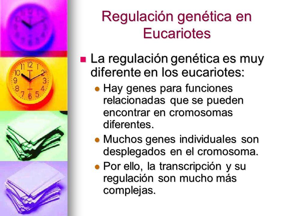 Regulación genética en Eucariotes La regulación genética es muy diferente en los eucariotes: La regulación genética es muy diferente en los eucariotes