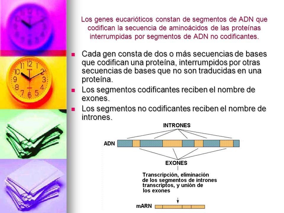 Los genes eucarióticos constan de segmentos de ADN que codifican la secuencia de aminoácidos de las proteínas interrumpidas por segmentos de ADN no co