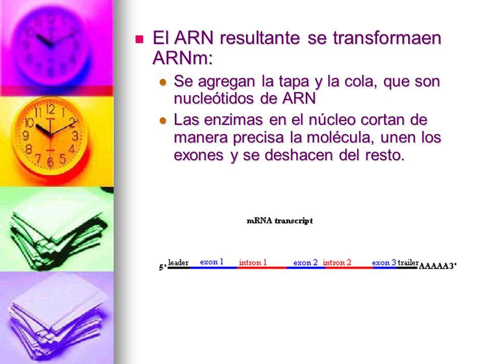 El ARN resultante se transformaen ARNm: El ARN resultante se transformaen ARNm: Se agregan la tapa y la cola, que son nucleótidos de ARN Se agregan la