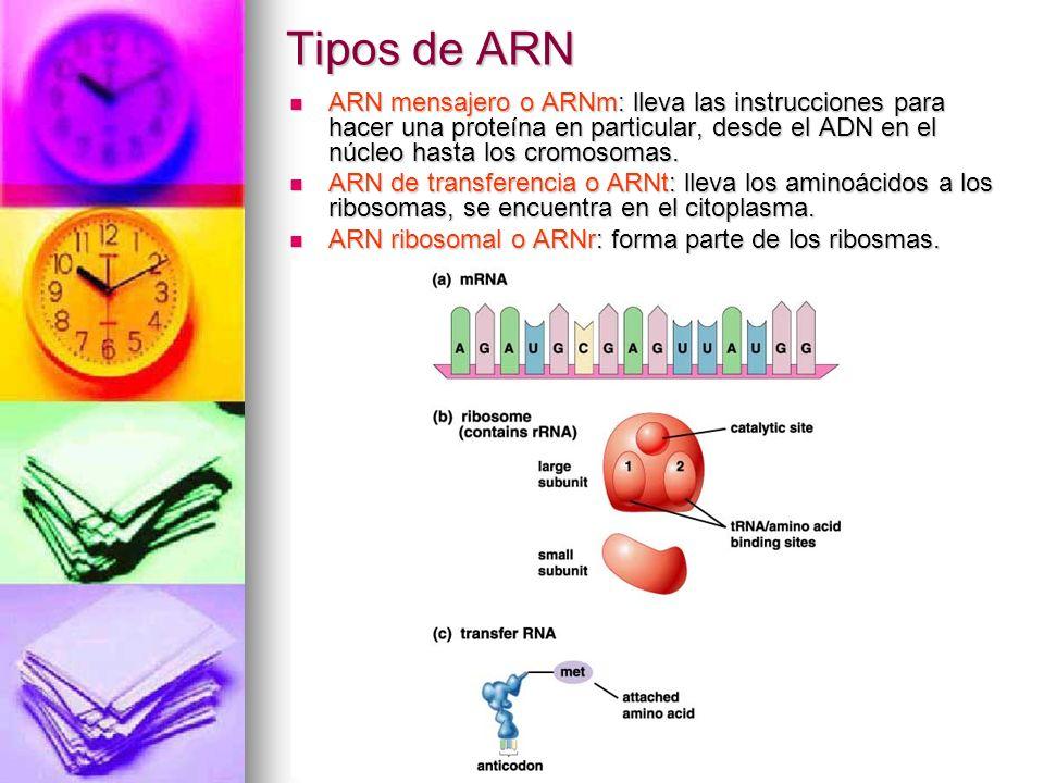 Tipos de ARN ARN mensajero o ARNm: lleva las instrucciones para hacer una proteína en particular, desde el ADN en el núcleo hasta los cromosomas. ARN