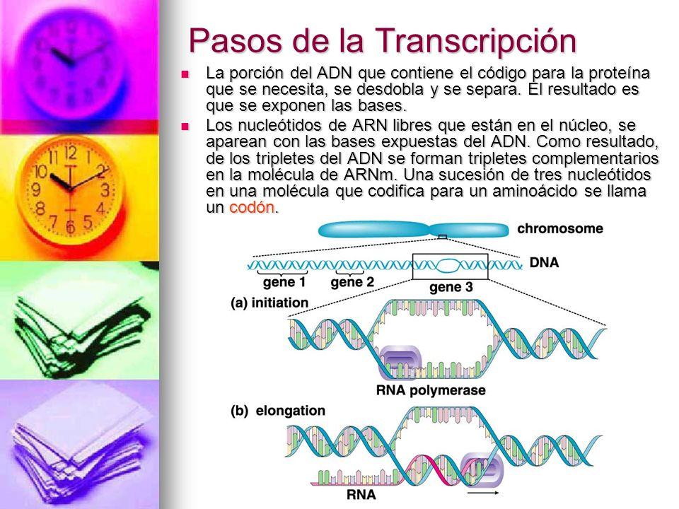 Pasos de la Transcripción La porción del ADN que contiene el código para la proteína que se necesita, se desdobla y se separa. El resultado es que se