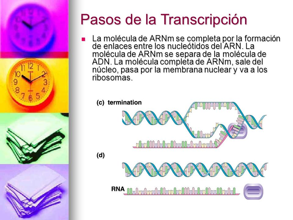 La molécula de ARNm se completa por la formación de enlaces entre los nucleótidos del ARN. La molécula de ARNm se separa de la molécula de ADN. La mol