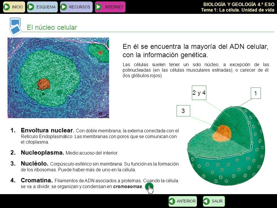 BIOLOGÍA Y GEOLOGÍA 4.º ESO Tema 1: La célula. Unidad de vida INICIOESQUEMARECURSOSINTERNET El núcleo celular SALIRANTERIOR 1 2 y 4 3 En él se encuent