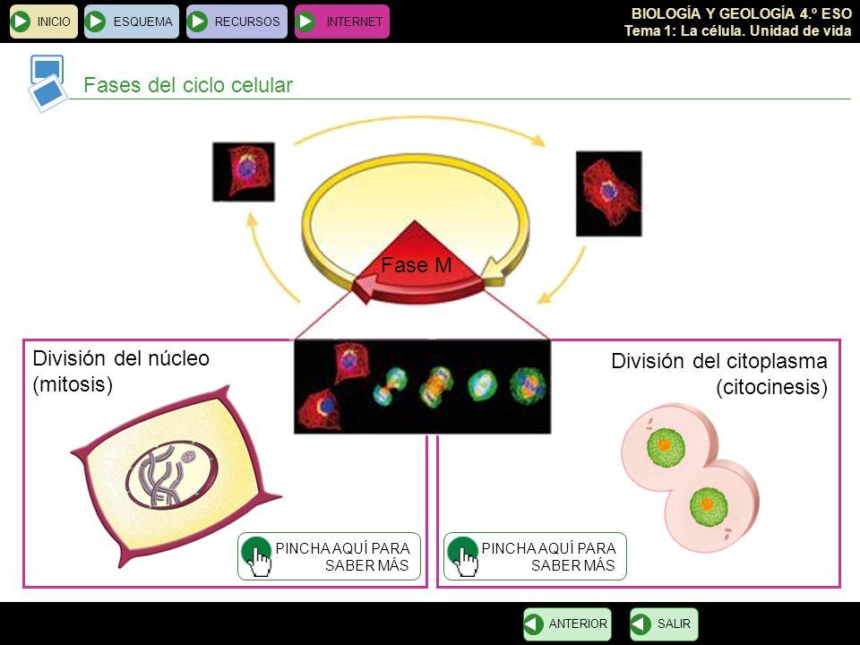 BIOLOGÍA Y GEOLOGÍA 4.º ESO Tema 1: La célula. Unidad de vida INICIOESQUEMARECURSOSINTERNET Fases del ciclo celular SALIRANTERIOR Fase M División del