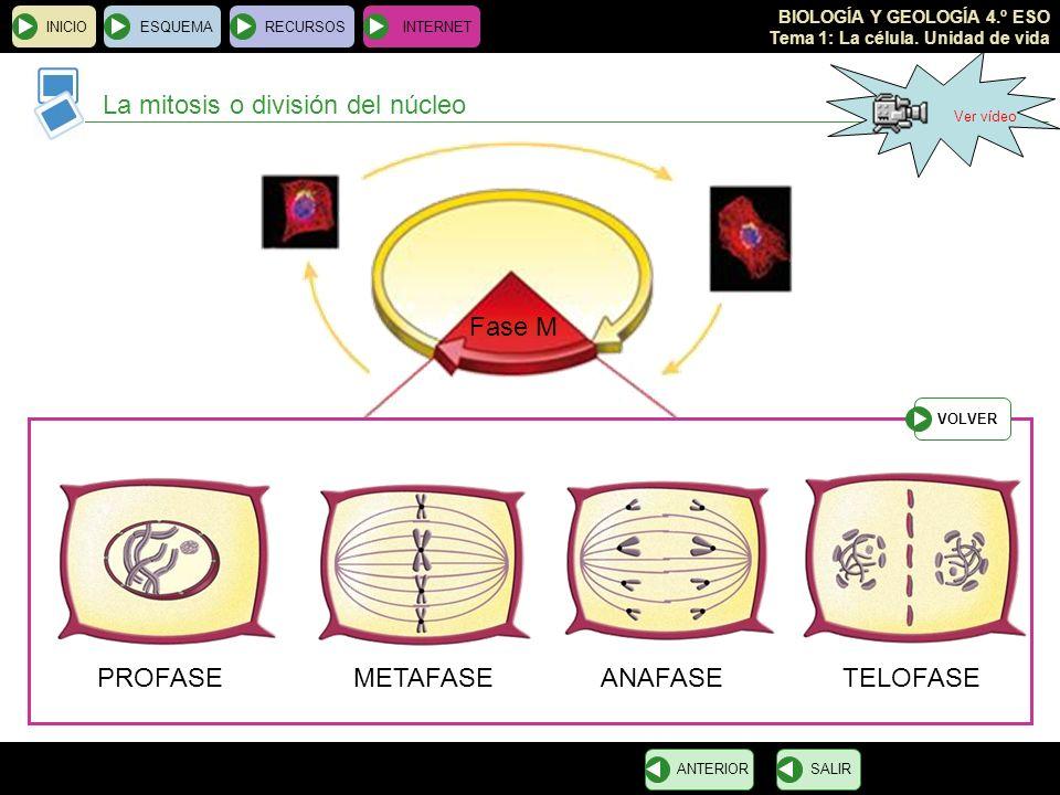 BIOLOGÍA Y GEOLOGÍA 4.º ESO Tema 1: La célula. Unidad de vida TELOFASE Los cromosomas se descondensan en cromatina ANAFASE Las cromátidas hermanas se