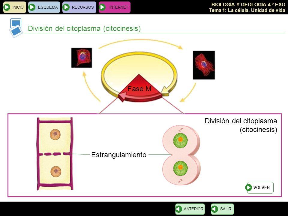 BIOLOGÍA Y GEOLOGÍA 4.º ESO Tema 1: La célula. Unidad de vida INICIOESQUEMARECURSOSINTERNET División del citoplasma (citocinesis) SALIRANTERIOR Fase M