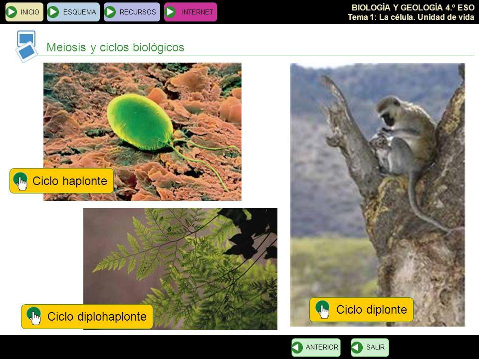 BIOLOGÍA Y GEOLOGÍA 4.º ESO Tema 1: La célula. Unidad de vida INICIOESQUEMARECURSOSINTERNET Meiosis y ciclos biológicos SALIRANTERIOR Ciclo diplonteCi