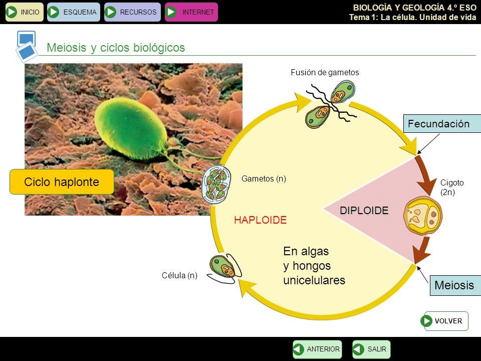BIOLOGÍA Y GEOLOGÍA 4.º ESO Tema 1: La célula. Unidad de vida INICIOESQUEMARECURSOSINTERNET Meiosis y ciclos biológicos SALIRANTERIOR Ciclo haplonte V