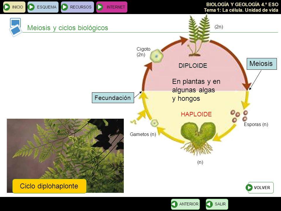 BIOLOGÍA Y GEOLOGÍA 4.º ESO Tema 1: La célula. Unidad de vida INICIOESQUEMARECURSOSINTERNET Meiosis y ciclos biológicos SALIRANTERIOR Ciclo diplohaplo