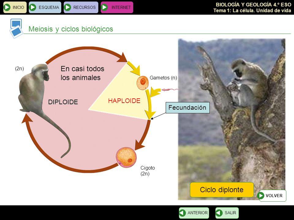 BIOLOGÍA Y GEOLOGÍA 4.º ESO Tema 1: La célula. Unidad de vida INICIOESQUEMARECURSOSINTERNET Meiosis y ciclos biológicos SALIRANTERIOR Ciclo diplonte V
