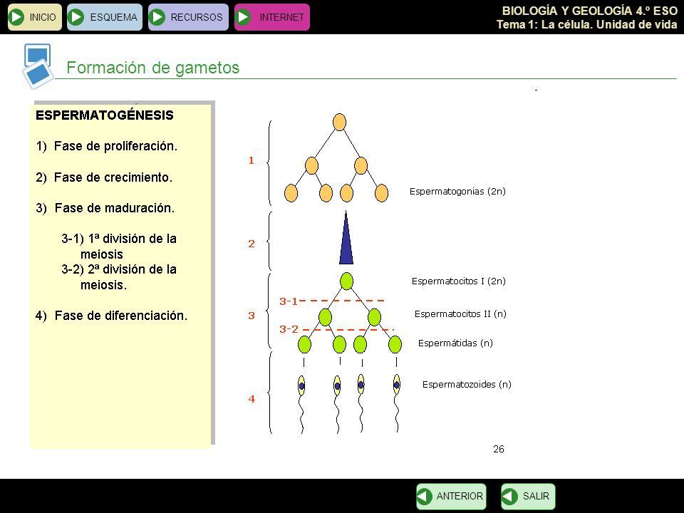 BIOLOGÍA Y GEOLOGÍA 4.º ESO Tema 1: La célula. Unidad de vida INICIOESQUEMARECURSOSINTERNET Formación de gametos SALIRANTERIOR