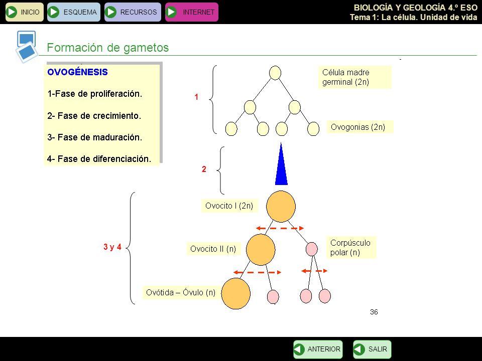 BIOLOGÍA Y GEOLOGÍA 4.º ESO Tema 1: La célula. Unidad de vida INICIOESQUEMARECURSOSINTERNET Formación de gametos SALIRANTERIOR 1 3 y 4 2