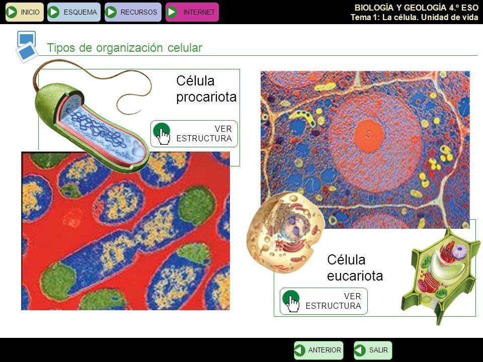 BIOLOGÍA Y GEOLOGÍA 4.º ESO Tema 1: La célula. Unidad de vida Célula eucariota INICIOESQUEMARECURSOSINTERNET Tipos de organización celular SALIRANTERI