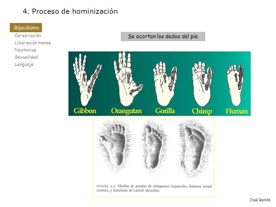 Bipedismo Cerebración Liberación manos Neotenias Sexualidad Lenguaje 4. Proceso de hominización Bipedismo José Ramón Se acortan los dedos del pie