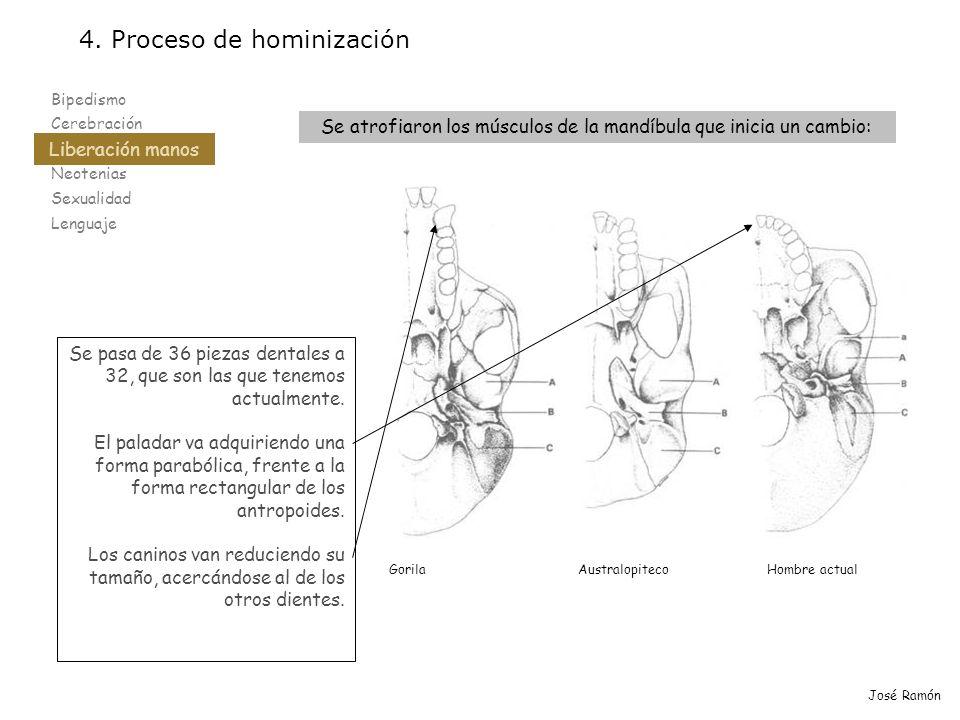 Bipedismo Cerebración Liberación manos Neotenias Sexualidad Lenguaje 4. Proceso de hominización Liberación manos José Ramón Se atrofiaron los músculos