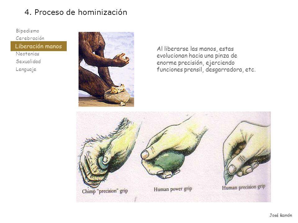 Bipedismo Cerebración Liberación manos Neotenias Sexualidad Lenguaje 4. Proceso de hominización Liberación manos José Ramón Al liberarse las manos, es