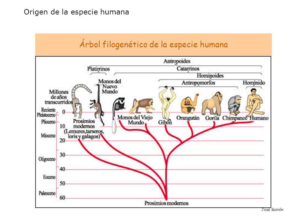 José Ramón Origen de la especie humana Árbol filogenético de la especie humana