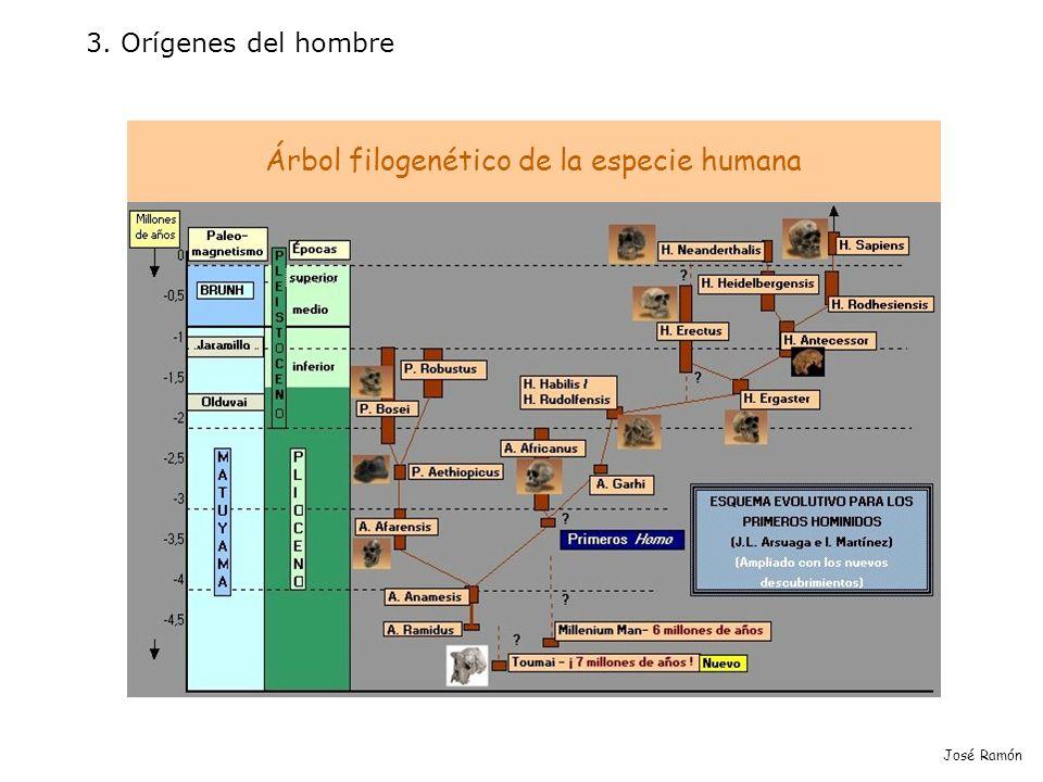 3. Orígenes del hombre José Ramón Árbol filogenético de la especie humana