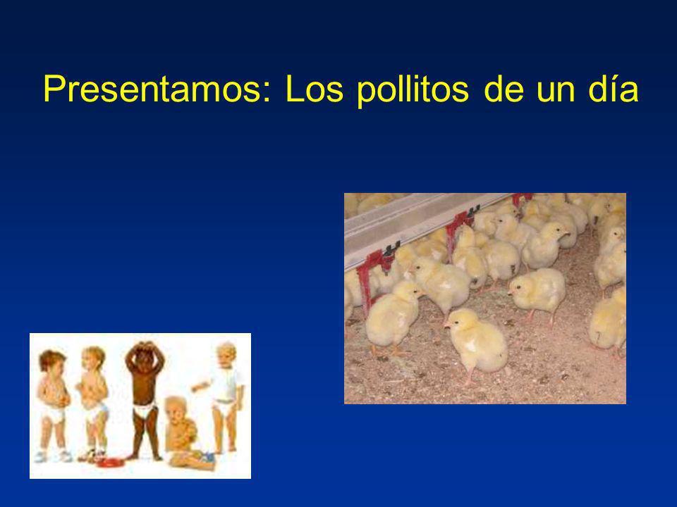 Presentamos: Los pollitos de un día