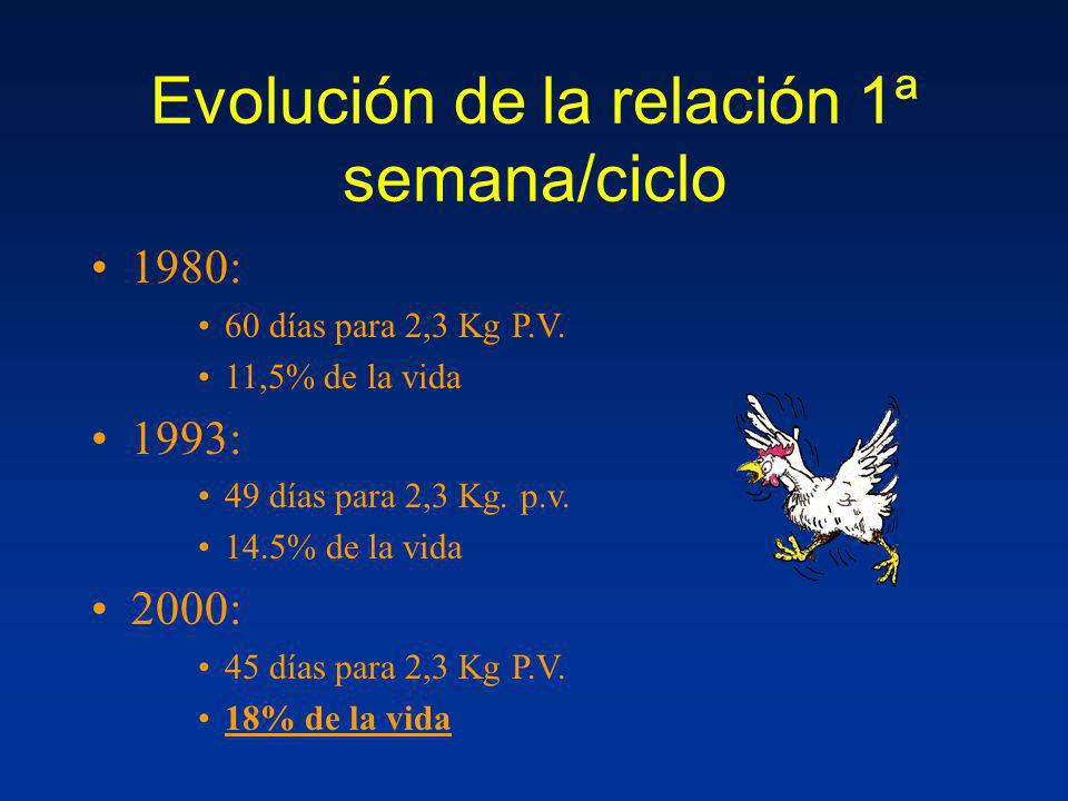 Evolución de la relación 1ª semana/ciclo 1980: 60 días para 2,3 Kg P.V. 11,5% de la vida 1993: 49 días para 2,3 Kg. p.v. 14.5% de la vida 2000: 45 día