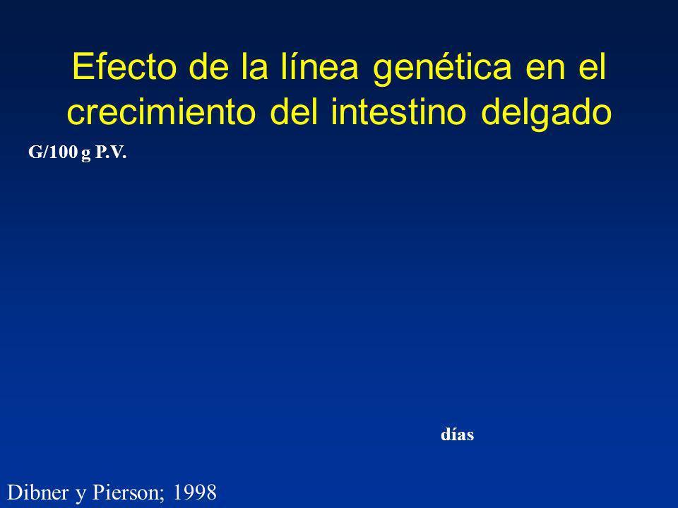 Efecto de la línea genética en el crecimiento del intestino delgado G/100 g P.V. días Dibner y Pierson; 1998