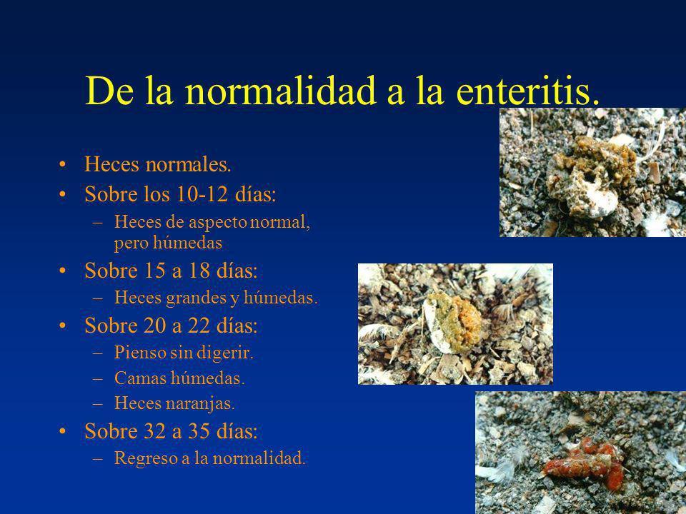De la normalidad a la enteritis. Heces normales. Sobre los 10-12 días: –Heces de aspecto normal, pero húmedas Sobre 15 a 18 días: –Heces grandes y húm
