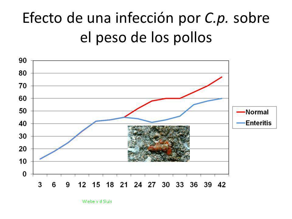 Efecto de una infección por C.p. sobre el peso de los pollos Wiebe v d Sluis