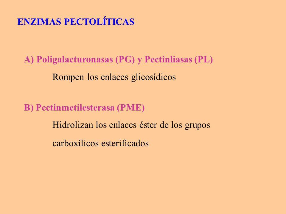 Rompen enlaces glicosídicos en pectinas de alto metoxilo, en ácidos pectínicos y en ácidos pécticos (actúan sobre distintos sustratos) EXO: actúan en los extremos de la cadena, producen: rápido del poder reductor lenta de la ENDO: actúan sobre enlaces del interior, producen: rápido de la PECTINLIASA POLIGALACTURONASA A) Poligalacturonasas (PG) y Pectinliasas (PL) (hidrolasa ) (liasa)
