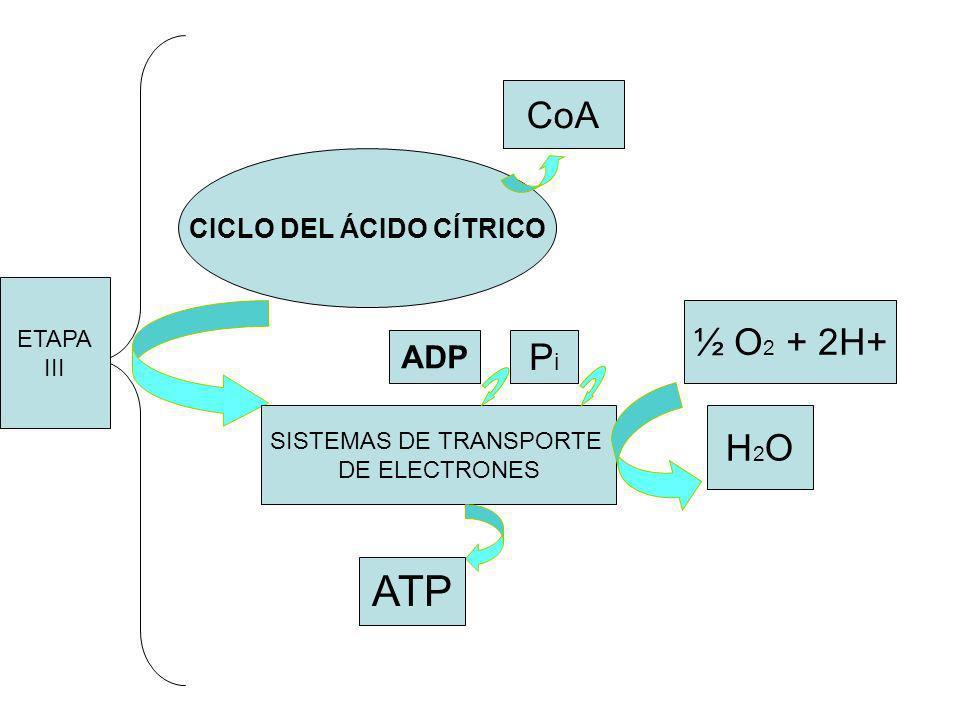 CICLO DEL ÁCIDO CÍTRICO SISTEMAS DE TRANSPORTE DE ELECTRONES ½ O 2 + 2H+ H 2 O ATP ADP P i CoA ETAPA III