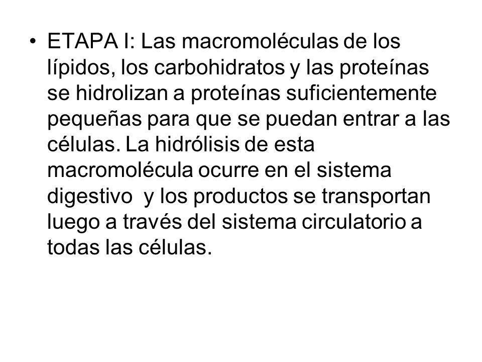 ETAPA I: Las macromoléculas de los lípidos, los carbohidratos y las proteínas se hidrolizan a proteínas suficientemente pequeñas para que se puedan en