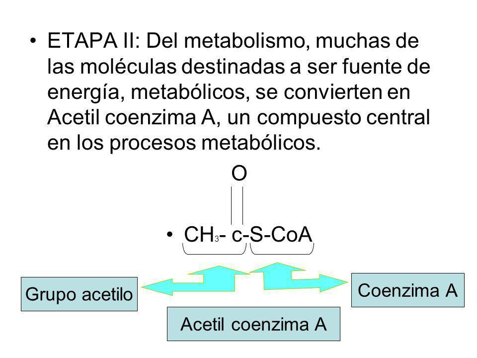 ETAPA II: Del metabolismo, muchas de las moléculas destinadas a ser fuente de energía, metabólicos, se convierten en Acetil coenzima A, un compuesto c