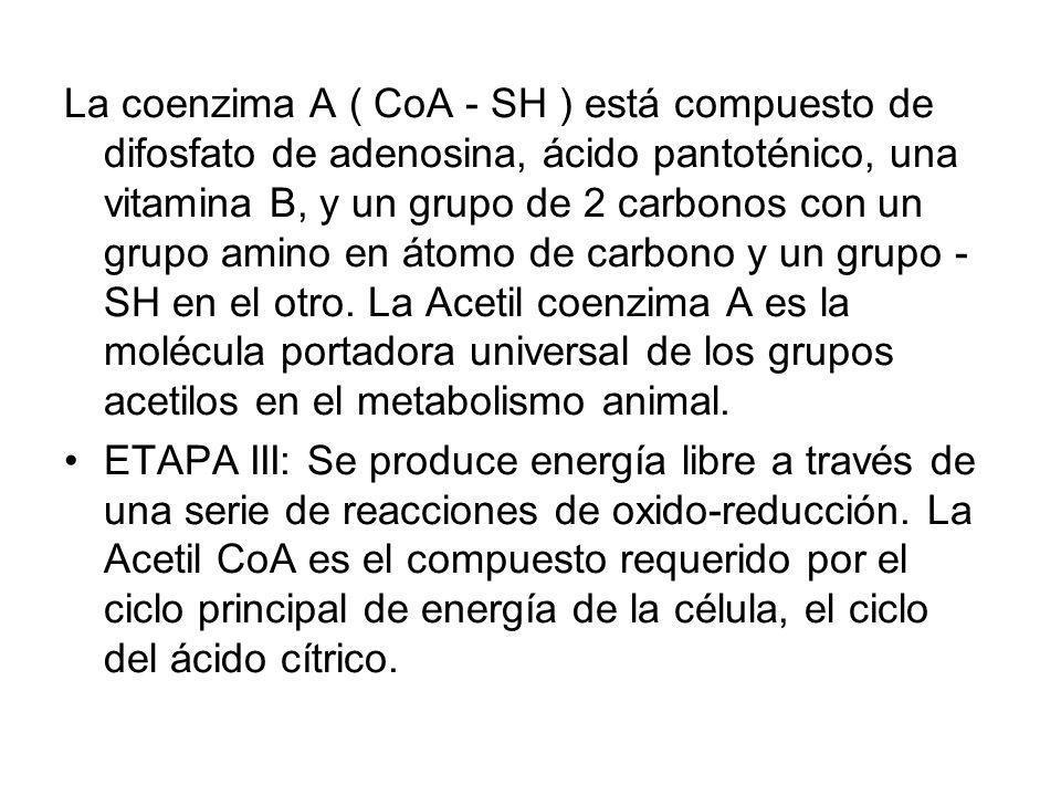 La coenzima A ( CoA - SH ) está compuesto de difosfato de adenosina, ácido pantoténico, una vitamina B, y un grupo de 2 carbonos con un grupo amino en