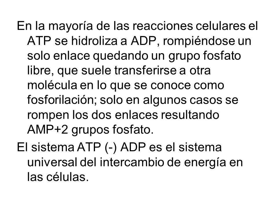 En la mayoría de las reacciones celulares el ATP se hidroliza a ADP, rompiéndose un solo enlace quedando un grupo fosfato libre, que suele transferirs