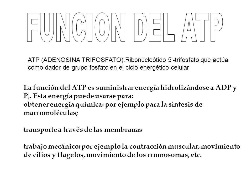 ATP (ADENOSINA TRIFOSFATO).Ribonucleótido 5'-trifosfato que actúa como dador de grupo fosfato en el ciclo energético celular La función del ATP es sum
