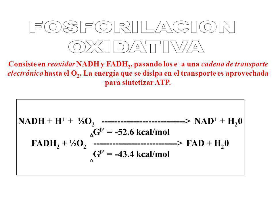 Consiste en reoxidar NADH y FADH 2, pasando los e - a una cadena de transporte electrónico hasta el O 2. La energía que se disipa en el transporte es