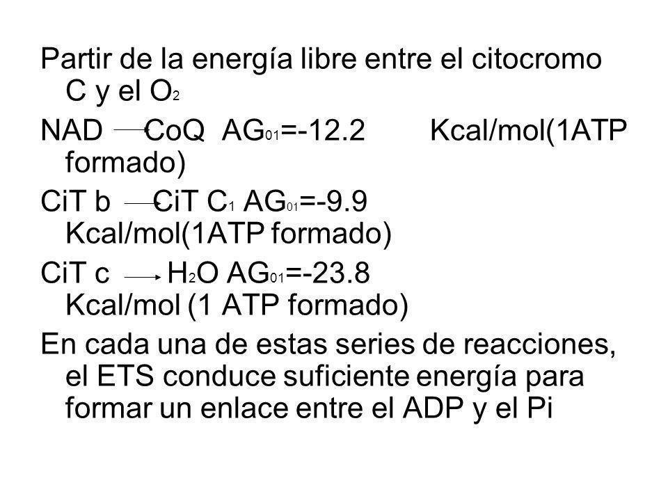Partir de la energía libre entre el citocromo C y el O 2 NAD CoQ AG 01 =-12.2 Kcal/mol(1ATP formado) CiT b CiT C 1 AG 01 =-9.9 Kcal/mol(1ATP formado)