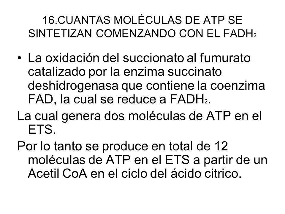 16.CUANTAS MOLÉCULAS DE ATP SE SINTETIZAN COMENZANDO CON EL FADH 2 La oxidación del succionato al fumurato catalizado por la enzima succinato deshidro