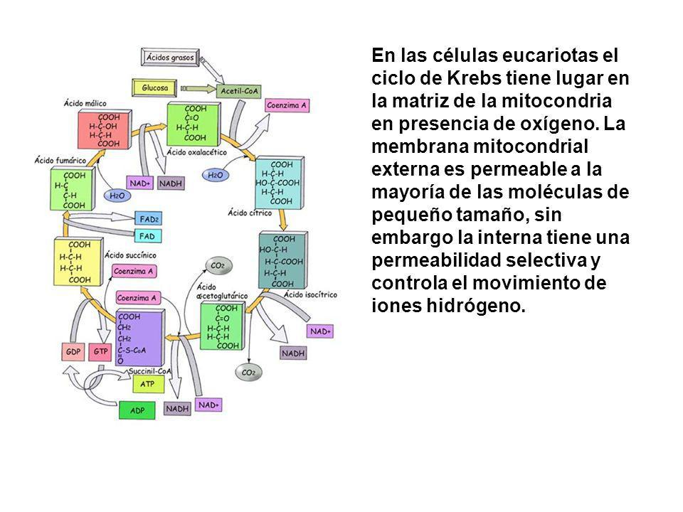 En las células eucariotas el ciclo de Krebs tiene lugar en la matriz de la mitocondria en presencia de oxígeno. La membrana mitocondrial externa es pe