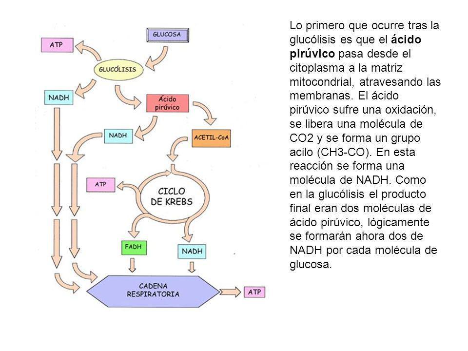 Lo primero que ocurre tras la glucólisis es que el ácido pirúvico pasa desde el citoplasma a la matriz mitocondrial, atravesando las membranas. El áci